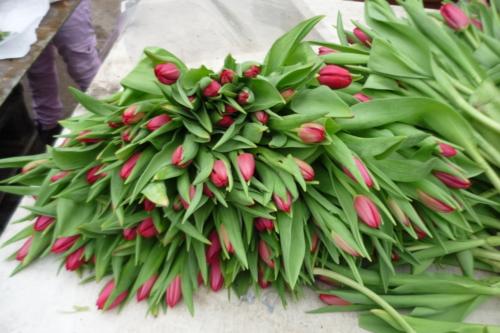 Tulpenbinden_1